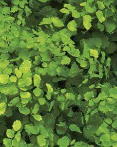 9018 HD - Leaf